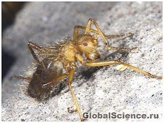 Ученые вновь обнаружили 'ужасную волосатую муху' в Африке
