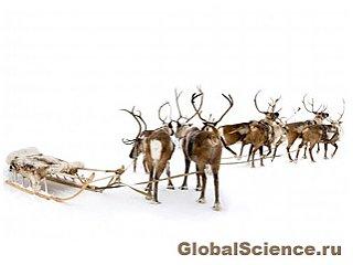 Удивительные факты о северных оленях Санты