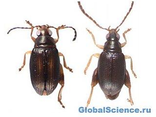 Два новых вида жуков обнаружены в Новой Каледонии