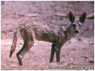 Виявлено новий вид Африканського вовка