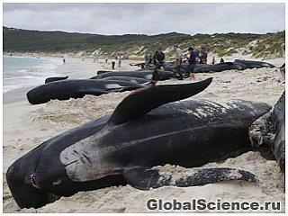 82 кита выбросило на берега Новой Зеландии