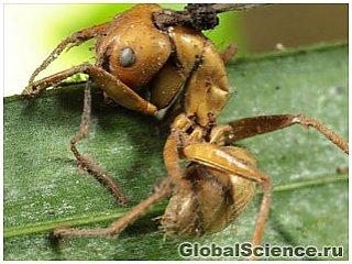 Обнаружены четыре новых вида муравьев-зомби