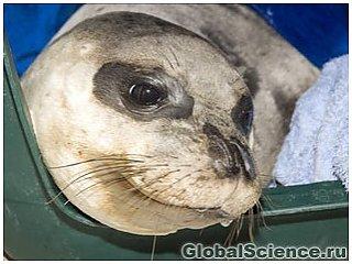 Биологи спасают морских котиков, поставленных под угрозу исчезновения
