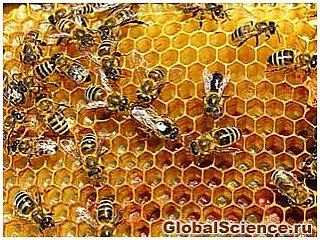 Пчелы запирают соты для защиты от пестицидов