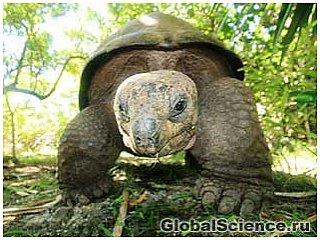 Наземная черепаха медленно, но верно спасает леса тропического острова
