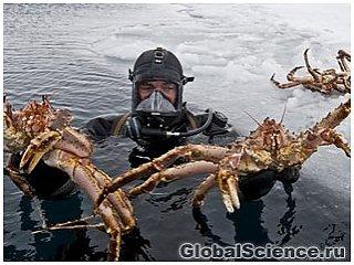 Королевские крабы захватывают Антарктику