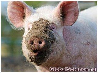 Почему свиньи любят грязь?