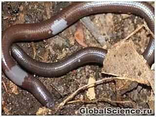 Вчені Камбоджі виявили новий вид сліпий і безногою ящірки