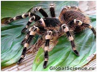 Шелковые нити тарантулы находятся у него в ногах