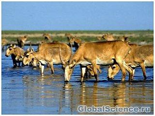 Сотни редких антилоп погибают в Казахстане
