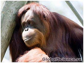 Счастье – это секрет долгой жизни людей и ...орангутангов