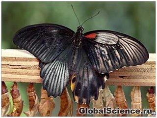 Рідкісна двостатева метелик з'явилася на світ в історичному музеї Лондона