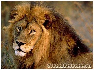 Львы атакуют людей в полнолуние
