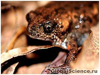 Ученые обнаружили новый вид лягушки в Австралии