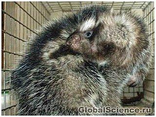 Гигантская крыса убивает хищников ядовитыми волосами