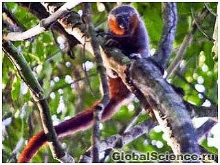 В области Амазонки был обнаружен новый вид обезьяны