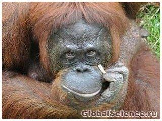 """Орангутанг Ширли из Малайзии """"бросает курить"""""""