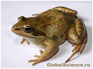 Кожа плохо пахнущих лягушек – сокровищница новых антибиотиков