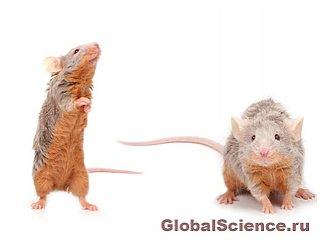 Самцы мыши поют серенады своим избранницам
