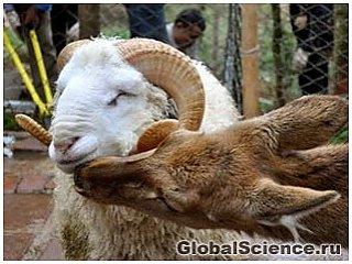 В день Святого Валентина в зоопарке Китая поженят барана и олениху