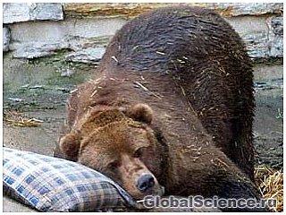 Вчені відкрили неймовірні властивості організму ведмедів під час сплячки