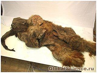 У Сибіру виявлений заморожений мамонт