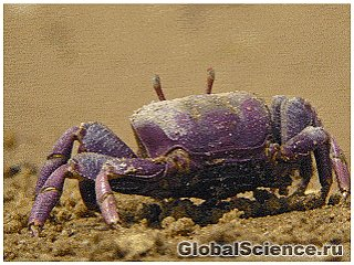 На Филиппинах обнаружили новый вид фиолетовых крабов