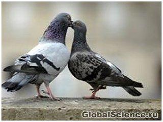 Биологи нашли нейроны магнитной навигации в мозге голубей