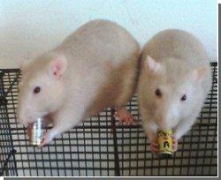 Крысы обладают аналитическим мышлением