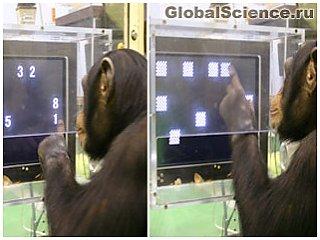 Гениальная обезьяна с легкостью обыгрывает людей в интеллектуальной игре