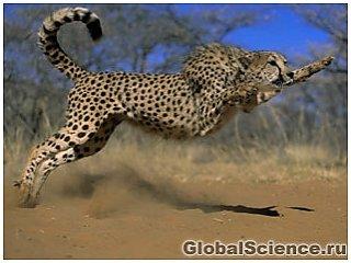 Раскрыт секрет скорости гепарда