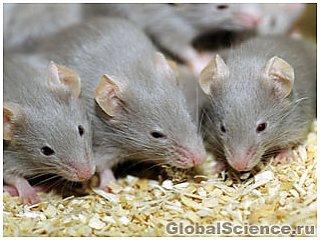 Мышам вернули возможность различать запахи