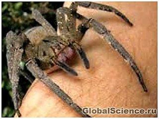 Природная Виагра или продолжительная эрекция от укуса паука