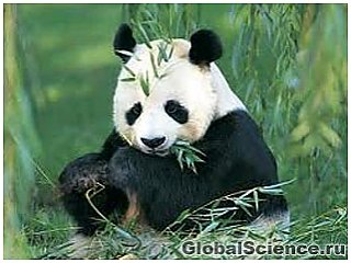 Палеонтологи знайшли в Іспанії останки найдавнішої гігантської панди