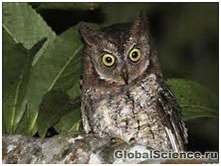 Новый вид сов удалось обнаружить по необычным крикам