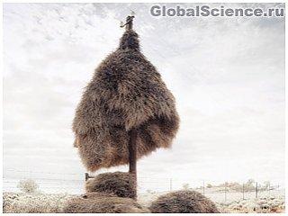 Гигантские гнезда на телефонных столбах в пустыне Калахари
