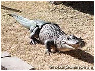 Перший у світі крокодил-інвалід з штучним хвостом