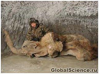 Якутские ученые нашли во льдах самку мамонта