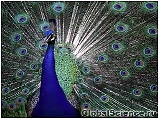 Самки павлинов игнорируют роскошные хвосты самцов