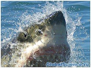 О приближении акул к Австралийскому побережью сообщается через Twitter