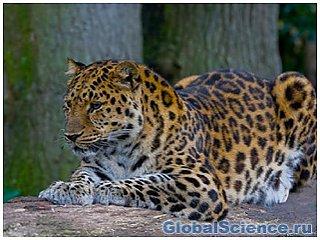 У Примор'ї вилікують тигрів і леопардів