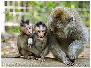 Родились первые генетически модифицированные обезьяны