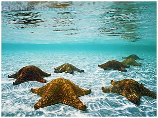 Неизвестная болезнь разрывает морских звезд на части