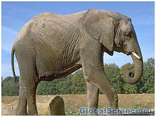 Слон по голосу способен различить пол и язык человека