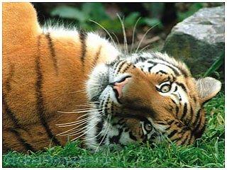 Количество амурских тигров на земле увеличивается