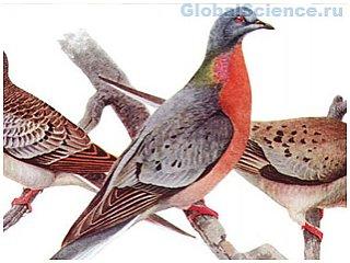 Странствующий голубь погиб не из-за человека