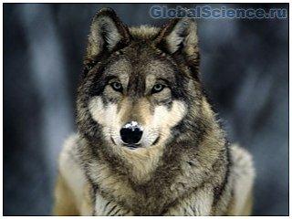 Собаки с волками общаются взглядом