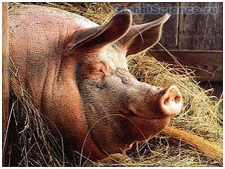 Американские ученые взрывали свиней в целях эксперимента