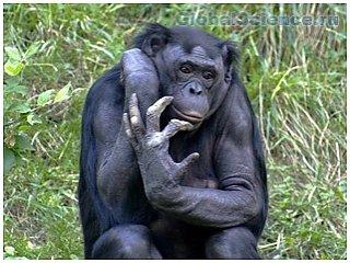 Британские ученые расшифровали язык шимпанзе