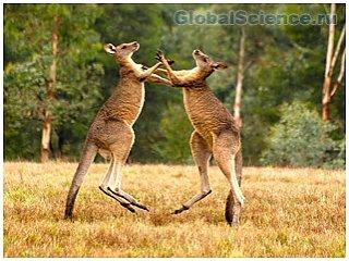 Учеными найдена пятая нога кенгуру